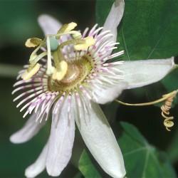 Passiflora_pallens