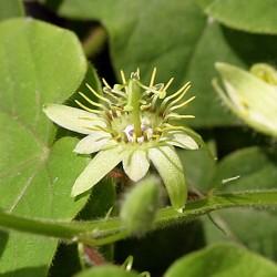 Passiflora pusilla