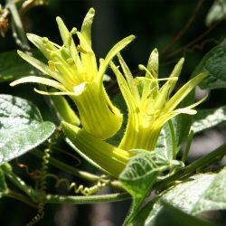 Passiflora citrina w